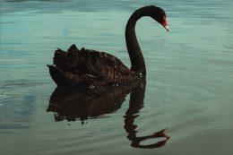 COVID 19 cygne noir